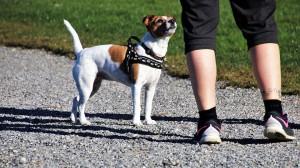 Le harnais, la meilleure solution pour votre animal